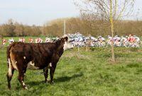 La vache a aussi le droit d'admirer le spectable