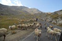 Les moutons au milieu du col de la Bonette