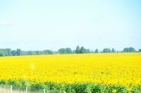 Les champs de tournesol