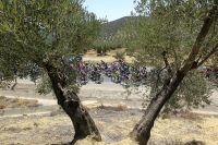 Le peloton de la Vuelta entre les oliviers